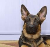 Ung valp för herdehund som lyssnar royaltyfria bilder