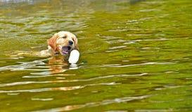Ung valp som lär hur man simmar och hämtar hans leksak Royaltyfria Bilder