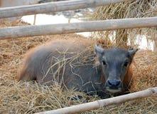 Ung vattenbuffel Royaltyfri Fotografi