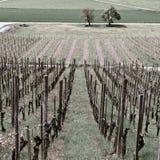 Ung vingård royaltyfri foto