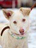 Ung vit hund på vinter utomhus royaltyfri fotografi
