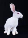 Ung vit kanin i profil Fotografering för Bildbyråer