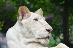 Ung vit lejoninnaprofil i zooslut upp Arkivfoton