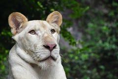 Ung vit lejoninnastående i zooslut upp Arkivfoto