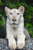 Ung vit lejoninnastående i zooslut upp Royaltyfri Fotografi