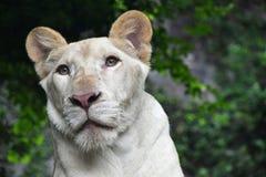 Ung vit lejoninnastående i zooslut upp Arkivfoton