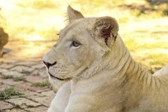 Ung vit lioness Arkivfoton