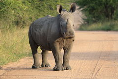Ung vit noshörning Arkivfoton
