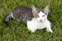 Ung vit och Grey Tabby Cat Lying på gräset Arkivfoto