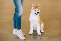 Ung vit och röd valp Akita Dog - Akita Inu Royaltyfri Foto
