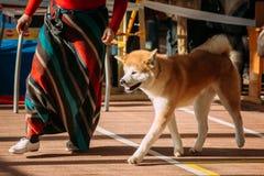 Ung vit och röda Akita Dog - Akita Inu, japan Akita Royaltyfri Foto
