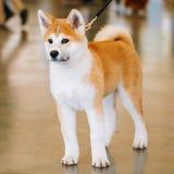 Ung vit och röda Akita Inu Dog, valp arkivfoton