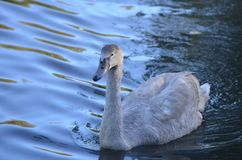 Ung vit svanCygnini simning i vattnet, härlig fågel i en sjö royaltyfria bilder