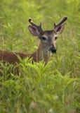 Ung vit Tailed hjortbock Fotografering för Bildbyråer