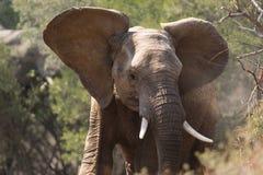Ung vuxen elefant Arkivbild
