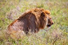 Ung vuxen male lion på savanna. Safari i Serengeti, Tanzania, Afrika Fotografering för Bildbyråer