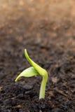 Ung växt Fotografering för Bildbyråer