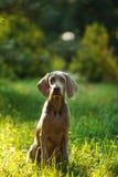 Ung weimaranerhund utomhus på grönt gräs Royaltyfria Bilder