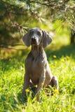 Ung weimaranerhund utomhus på grönt gräs Fotografering för Bildbyråer