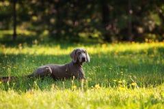 Ung weimaranerhund utomhus på grönt gräs Arkivbild