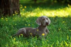 Ung weimaranerhund utomhus på grönt gräs Royaltyfri Fotografi
