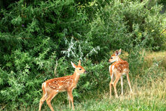 Ung Whitetail Fawn Twin Deer Royaltyfri Fotografi