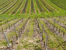 Ung wineyard Royaltyfria Bilder