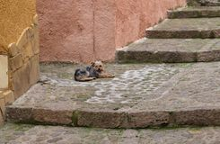 Ung yorkshire hund i gatan Arkivfoton