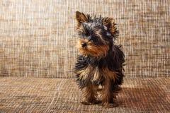 Ung yorkshire terrier hemma Arkivfoton