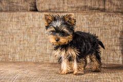 Ung yorkshire terrier hemma Arkivfoto
