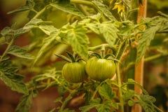 Unga äggstockar gör grön tomater på buskarna i växthuset Fotografering för Bildbyråer