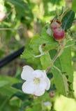 Unga äpplefrukter och blomning Royaltyfria Foton