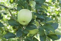 Unga äpplen i fruktträdgård Royaltyfri Bild