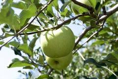 Unga äpplen i fruktträdgård Royaltyfri Foto
