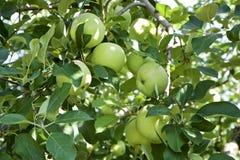 Unga äpplen i fruktträdgård Royaltyfria Foton