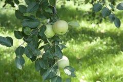 Unga äpplen i fruktträdgård Royaltyfria Bilder