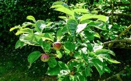 Unga äpplen som ses i en kommersiell äppeljuicefruktträdgård royaltyfri fotografi