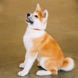 Unga Akita Dog - Akita Inu, japan Akita - Arkivbild