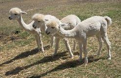 Unga Alpacas som matar Sydafrika Royaltyfri Foto
