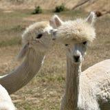 Unga Alpacas Sydafrika Royaltyfria Bilder
