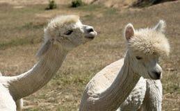 Unga Alpacas Sydafrika Royaltyfri Foto