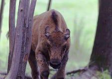 Unga amerikanska Buffel-materiel foto Arkivfoton