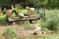 Unga asiatiska vita pelikan -10 Royaltyfri Bild