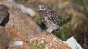 Unga Athenenoctuastands för liten uggla på en sten fördelar dess vingar och andas tungt på grund av värmen stock video