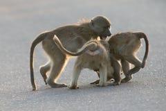 Unga babianer som spelar i en sen eftermiddag för väg för gående baksida Arkivfoto