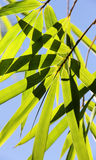 Unga bambugräsplanfilialer Royaltyfria Bilder