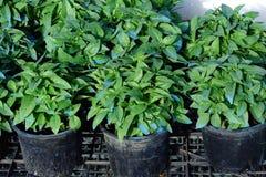 Unga Basil Plants i krukor Royaltyfri Foto