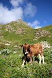unga berg för green för tjurkalvcaucasus gräs Arkivfoton