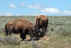 Unga Bison Bulls som horning sig i Hayden Valley i den Yellowstone nationalparken royaltyfria bilder