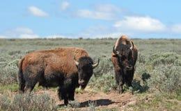 Unga Bison Bulls som vänder mot av i Hayden Valley i den Yellowstone nationalparken arkivfoton